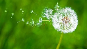 dandelion-in-breeze[1]