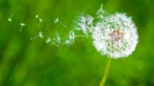dandelion-in-breeze[1]